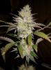 Orgi F2 (Pheno 2) 64 Days #2.png