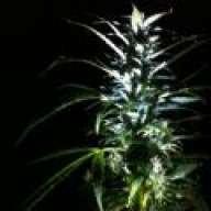 Greenthumbskunk