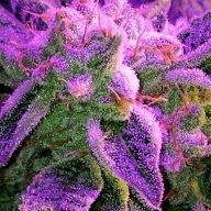 420producer