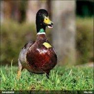 Duck197
