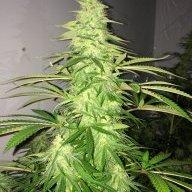 907cannabis